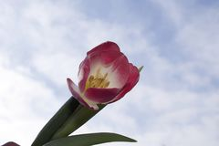 Very pretty colorful tulip in the sunshine Stock Photography