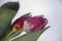 Very pretty colorful tulip close up in the sunshine Stock Photos