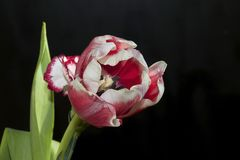 Very pretty colorful tulip close up stock photography