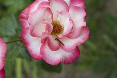 Very pretty colorful rose close up in my garden Stock Photography