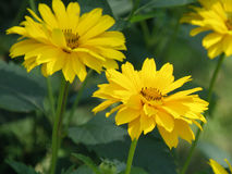 Very Pretty False Sunflower Blossoms in Bloom. Gorgeous blooming false sunflower blossoms flowering stock photos