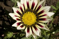 Very pretty gazania close up in my garden stock image
