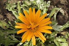 Very pretty gazania close up in my garden Royalty Free Stock Photo