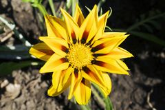 Very pretty gazania close up in my garden stock photography