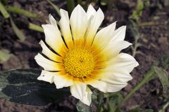 Very pretty gazania close up in my garden stock photo