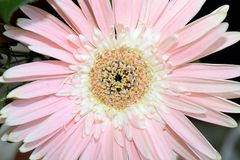 Very pretty gerber close up in my garden Royalty Free Stock Image
