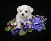 Very Pretty Malti-Poo Puppy. Sweet little Malti-Poo puppy sitting with pretty purple and pink flowers on a black background Stock Photos