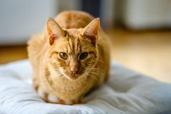 Very pretty orange and red striped cat is looking at the camera Stock Image
