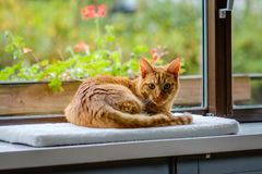 Very pretty orange and red striped cat is looking at the camera Royalty Free Stock Images