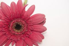 Very pretty pink gerber close up Royalty Free Stock Photo