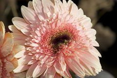 Very pretty pink gerber close up in the sunshine Stock Photography