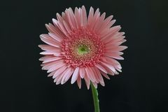Very pretty pink gerber close up royalty free stock image