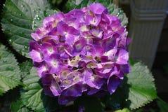 Very Pretty Purple Hydrangea Bush in Bloom Stock Photos