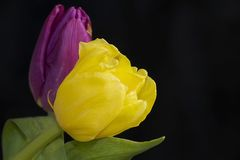 Very pretty purple and yellow tulip flower close up Royalty Free Stock Photo