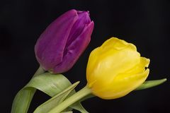 Very pretty purple and yellow tulip flower close up Stock Photos