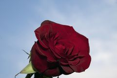 Very pretty red rose close up in the sunshine Royalty Free Stock Photo