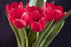 Very pretty red tulip flower close up Royalty Free Stock Images