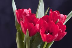 Very pretty red tulip flower close up Royalty Free Stock Photos