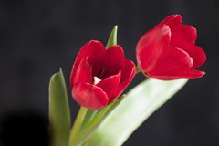 Very pretty red tulip flower close up Stock Photos