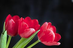 Very pretty red tulip flower close up Stock Photo