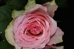 Very pretty rose close up on the mirror royalty free stock image