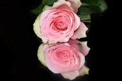 Very pretty rose close up on the mirror royalty free stock images