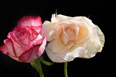 Very pretty rose close up in the sunsahine royalty free stock photos
