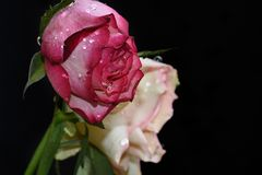 Very pretty rose close up in the sunshine royalty free stock images