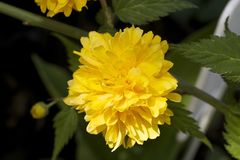 Very pretty spring flower in the sunshine Stock Photography
