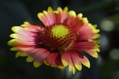 Very pretty summer flower close up in my garden Stock Images