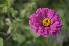 Very pretty summer flower close up in my garden Stock Image