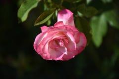 Very pretty summer flower n my garden royalty free stock photo