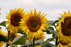 Very pretty sunflowers field in the sunshine stock photography