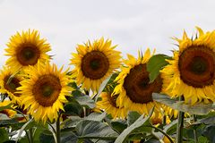 Very pretty sunflowers field in the sunshine stock images