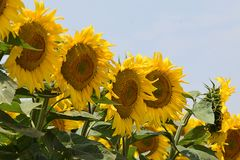 Very pretty sunflowers field in the sunshine stock photos