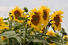 Very pretty sunflowers field in the sunshine royalty free stock images