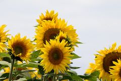 Very pretty sunflowers field in the sunshine royalty free stock photography