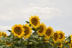 Very pretty sunflowers field in the sunshine royalty free stock photo