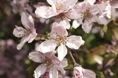 Very pretty tree blossoms in the sunshine stock photos