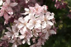 Very pretty tree blossoms in the sunshine stock image