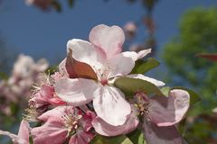 Very pretty tree blossoms in the sunshine stock photography