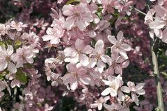 Very pretty tree blossoms in the sunshine stock photo