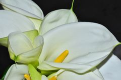 Very nice white calla close up in the sunshine royalty free stock images
