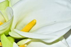 Very nice white calla close up in the sunshine royalty free stock image