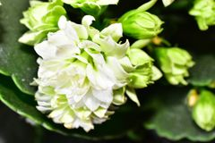 Beautiful white flowers close up in the sunshine royalty free stock photo
