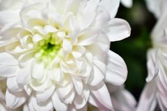 Beautiful white flowers close up in the sunshine stock photo