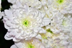Beautiful white flowers close up in the sunshine stock image