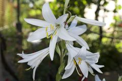 Very pretty white lilly in my garden Royalty Free Stock Photography