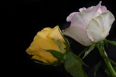 Very pretty white rose in the sunshine royalty free stock photography