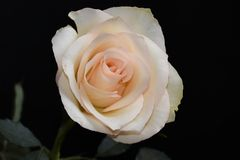 Very pretty white rose in the sunshine royalty free stock photos